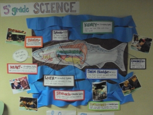 Salmon bulletin board I created for our 5th grade science unit on salmon.